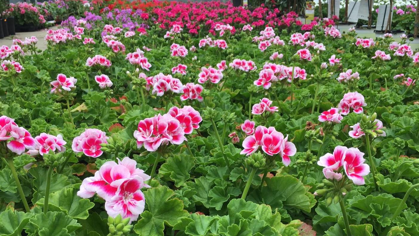 Das Foto zeigt Geranien-Pflanzen in rosa-weiss.